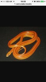 Corn snake Amel Stripe