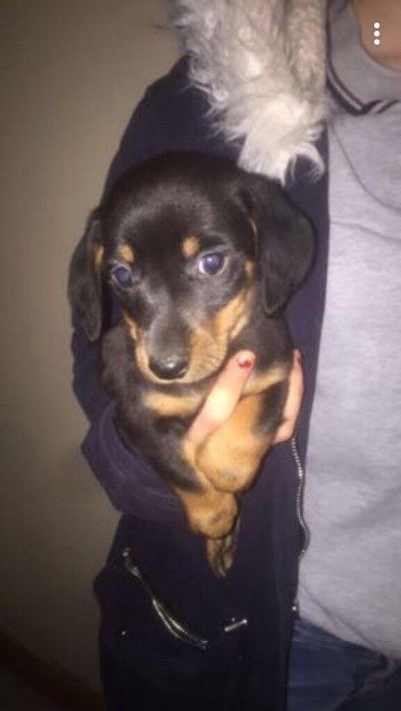 miniature smooth coat dachshund