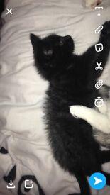 1 male - 1 female kittens 9 week old