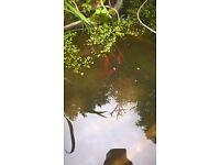 pond goldfish for sale