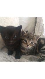 Female kittens. One tabby, one black