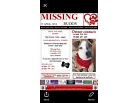 Missing staff pup 25/4 st mellons area 6 mths old