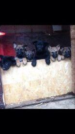 German shepherd last 2 puppies 8 weeks old ready now only males left