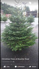 Real fresh cut Norman fir Christmas tree