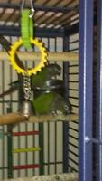 2 green cheek conures with large cage