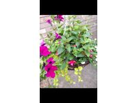 Hanging Baskets - 16 inch diameter with 7 plants
