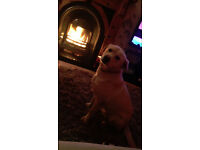 11 month old Golden Labrador ****(Free to good home)****