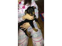 Rottweiler rotty pups puppies
