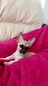 Chihuahua puppy 🐶🐶