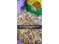 Russian dwarf baby hamsters