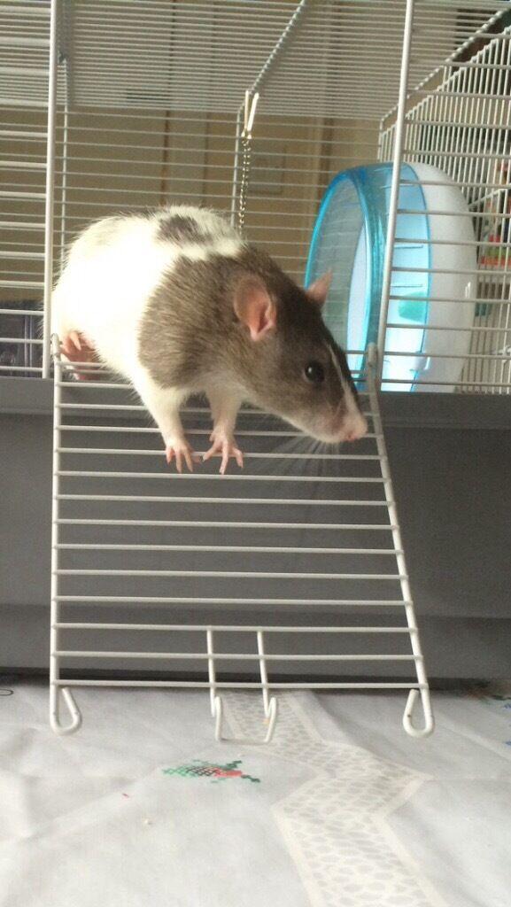 Male Rats