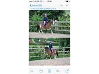 12hh Welsh Sec A Gelding for Loan/Loan with a view to buy