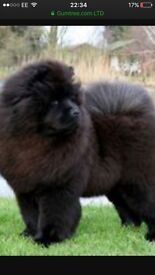 KC reg 5 generation champion chow chow pups available