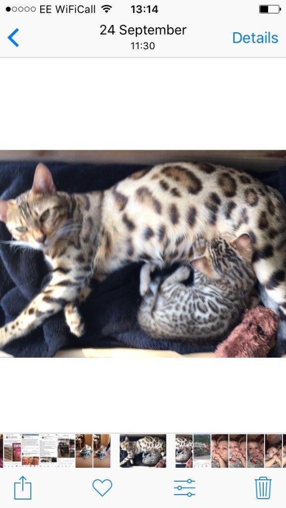 Bengal kitten beautiful markings 13 weeks old in spayed