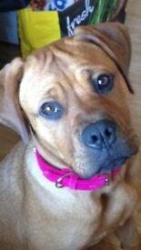 11 month Rottweiler x