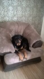 Friendly Rottweiler ☺ family home only