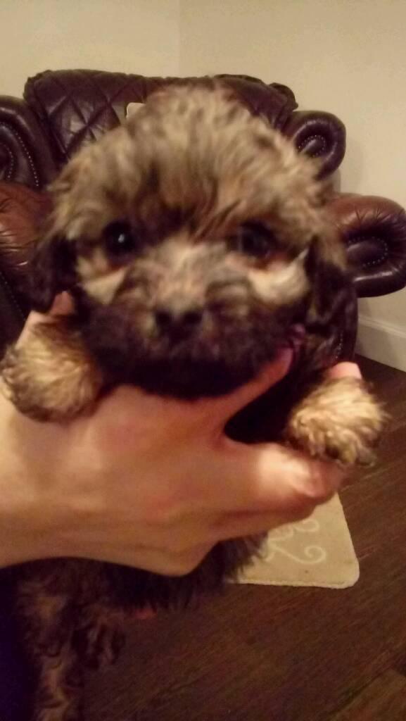 Lhassapoo Puppy