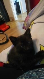 Two black kittens for sale
