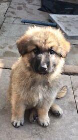 German Shepherd 8 week old pup looking for home, everything included vaccs etc...