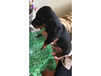 Miniature pedigree dachshund boy for sale