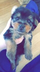 Gorgeous Yorkshire Terrier pup for sale