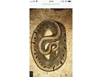 Male pinstripe royal python