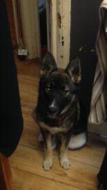 9 month husky cross bitch