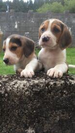 Ready now! Beautiful Pure Beagle Pups