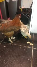 Pet chick chickens for sale