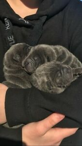 Blue Shar Pei Puppies for sale
