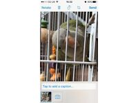 Parakeet for sale