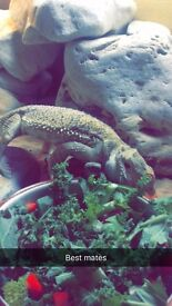 Bearded Dragon (cisco)