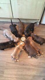 Beautiful American Bulldog cross Lab/Staff Puppies