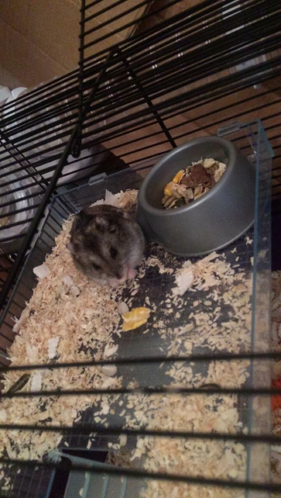Two dwarf hamsters | in Basildon, Essex | Gumtree