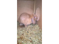 Orange Mini Lop does