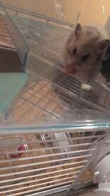 Adorable Hamster looking for a home
