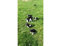 7 border collie puppies