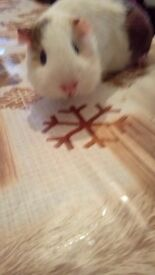 16 week male guinea pig for sale