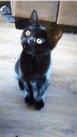 14 Week Old Male Kitten