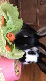 Rabbits for sale = 7 months old, 2 rabbits - can be sold separately