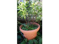 Bottle brush plant with pot
