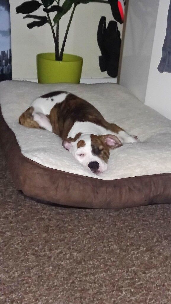 American Bulldog Puppy With Accessories In Grimsby Lincolnshire