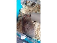 4month old sabrian hamster