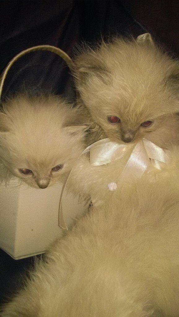Beautiful Ragdoll Kittens For Sale