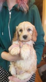 F2 Cockerpoo puppy still looking for his forever home