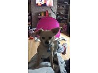 Male and female chihuahua for sale 800 Ono for the pair