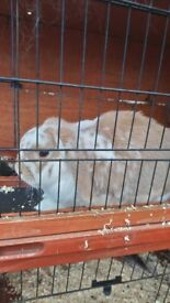 Free pet Rabbit
