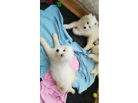 last Samoyed Puppy boy for sale KC Registered £750 Belfast