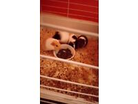 Guinea Pigs for sale-3 Male and 1 Female