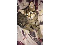 Tabby x bengal kitten for sale